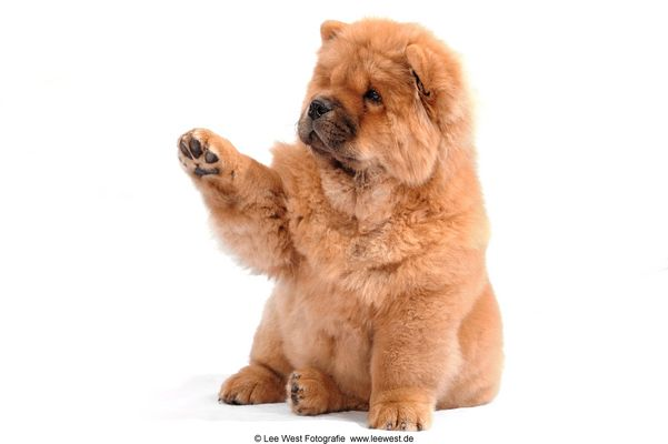 "Chow-Chow ""give me five"""