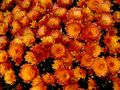 Chrisanthemen by chaefer (Barbara)