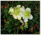 Christrosen im Garten