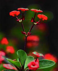 Christusdorn (Euphorbia)