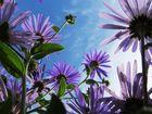 """Chrysanthem """" dem Himmel so nah """""""
