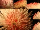 Chrysantheme - eine Blüte, verschiedene Blickwinkel