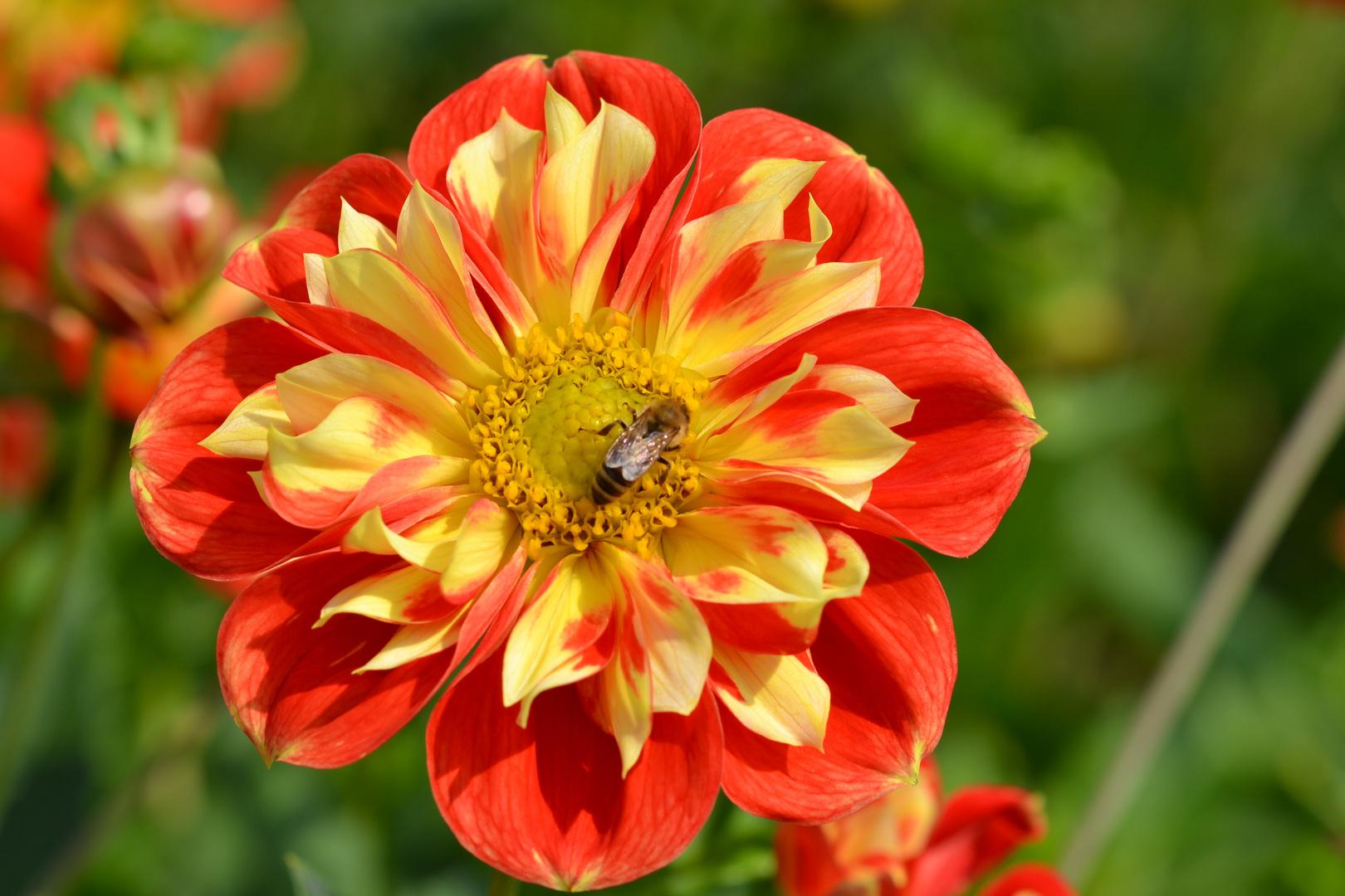 Chrysantheme mit Gast 1