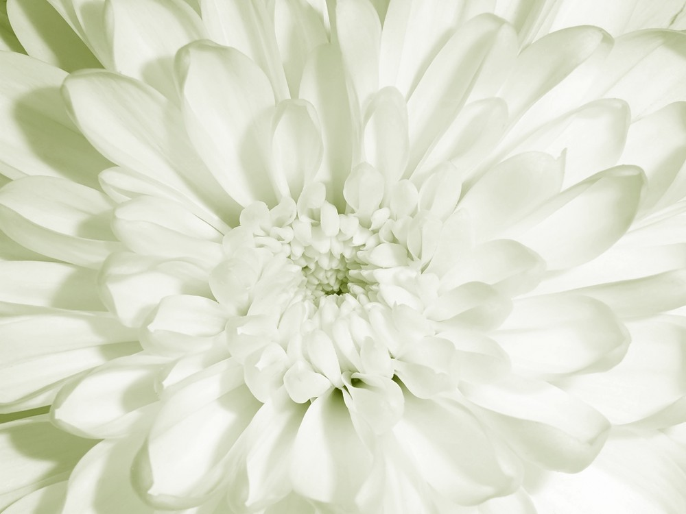 Chrysantheme SW