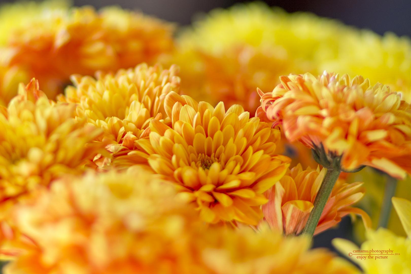 Chrysanthemen / Chrysanthemum