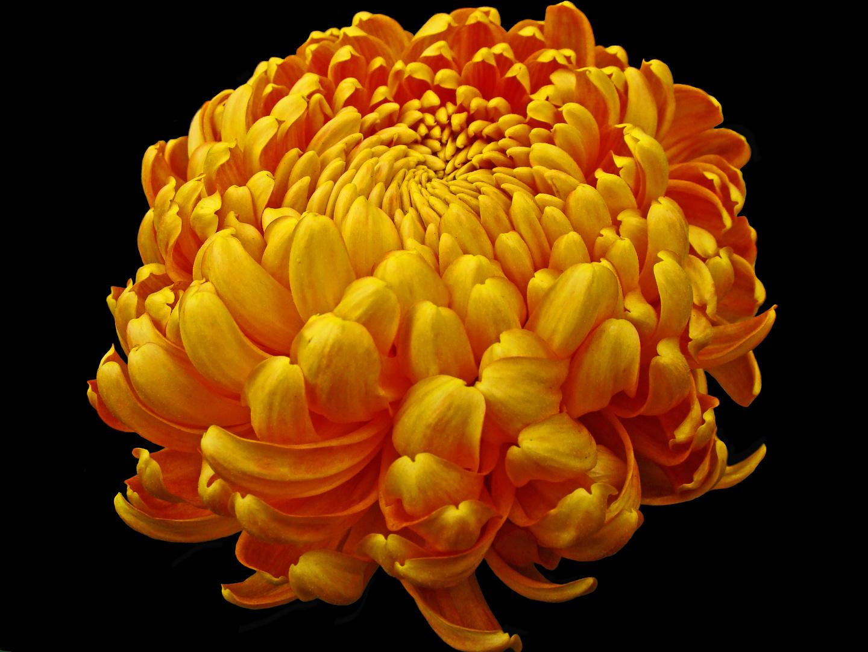 chrysanthemenball