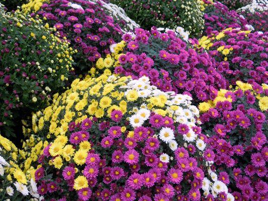 Chrysanthemenzeit