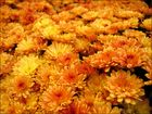 Chrysanthemisches Meer