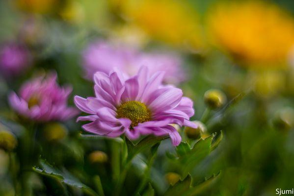 Chrysanthemum malerisch