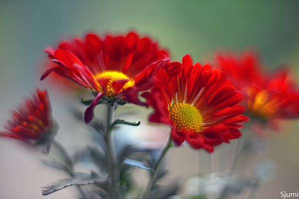 Chrysanthemums fire