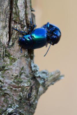 Chrysolina coerulans (engl. Mint Beetle)