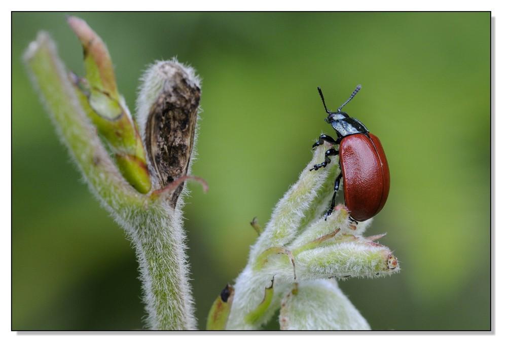 Chrysomèle du peuplier (Melasoma populi)