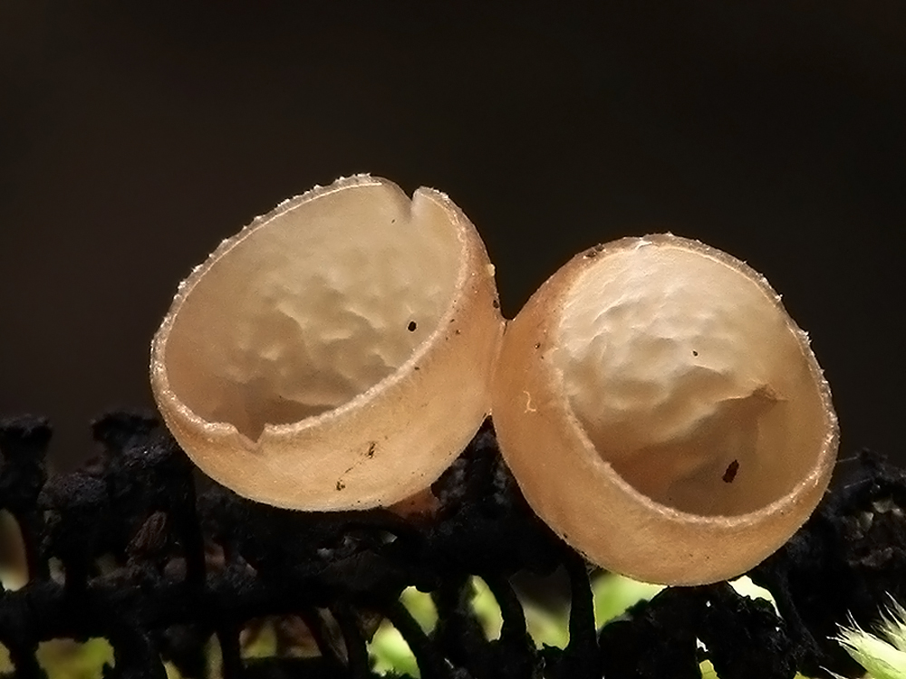 Ciboria amentacea