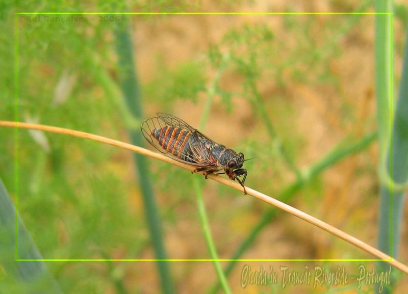 Cicada in Trancão Riverside - Portugal