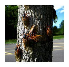 Cicadas Invasion