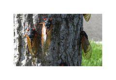 Cicadas Invasion II