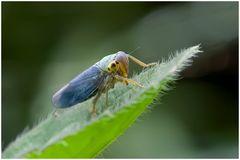 Cicadelle viridis (mâle)