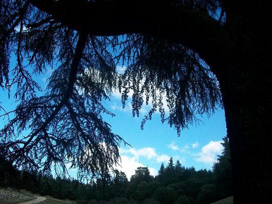 Ciel vu sous l'ombre d'un cèdre