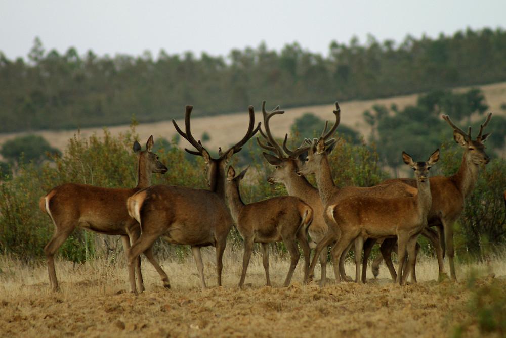 ciervos en Herreruela