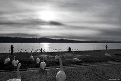 Cigni verso il lago