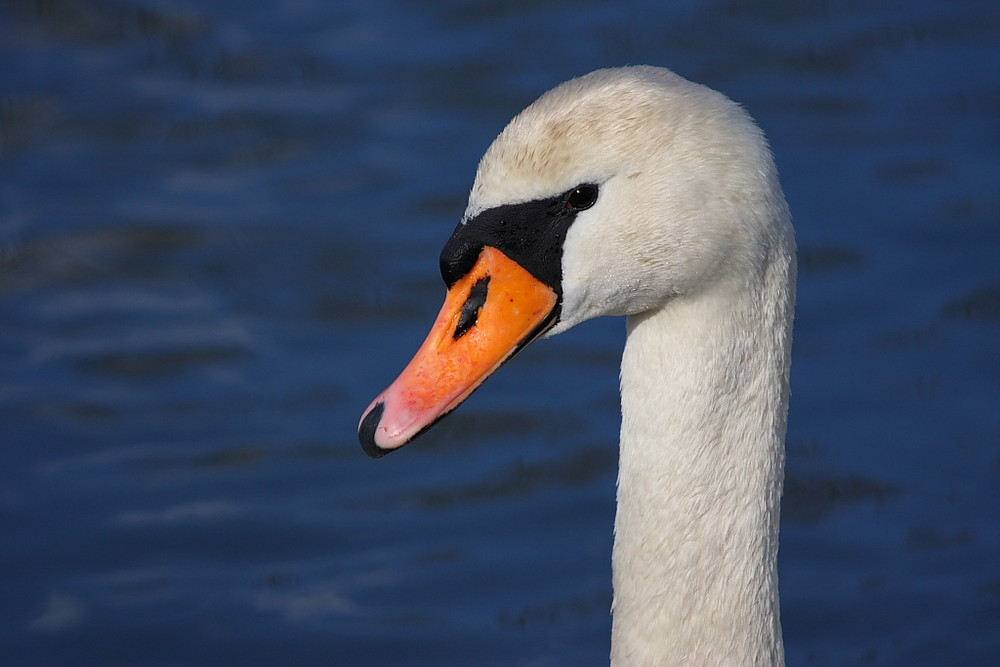 Cigno 2 - Swan 2