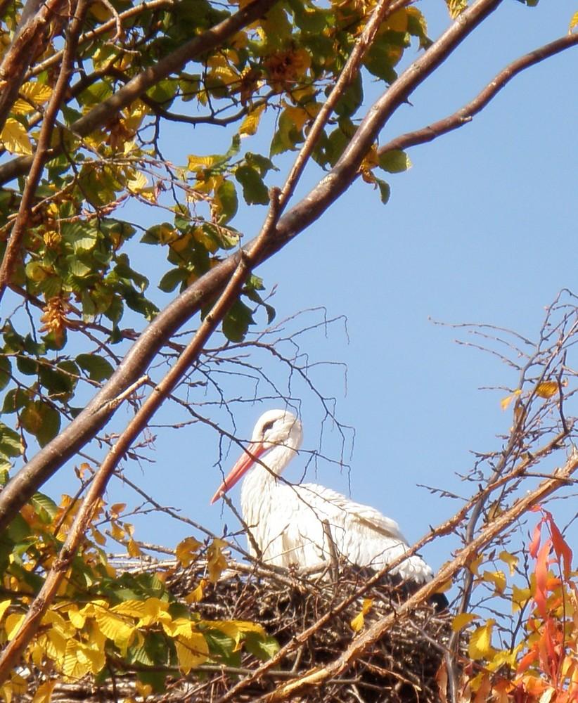 Cigogne d'Alsace