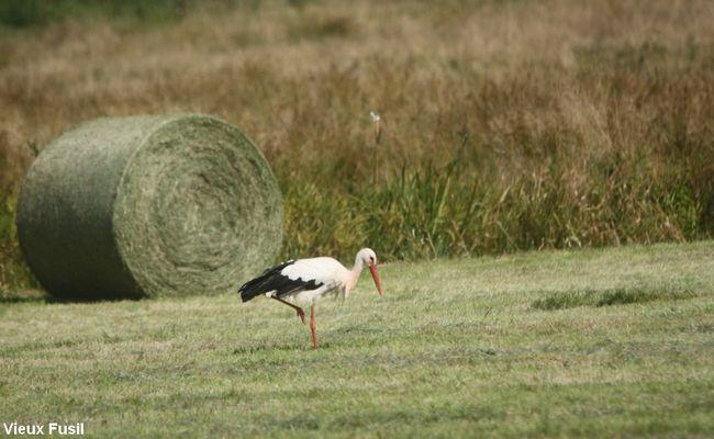 Cigogne en septembre au ramassage du foin dans les marais .