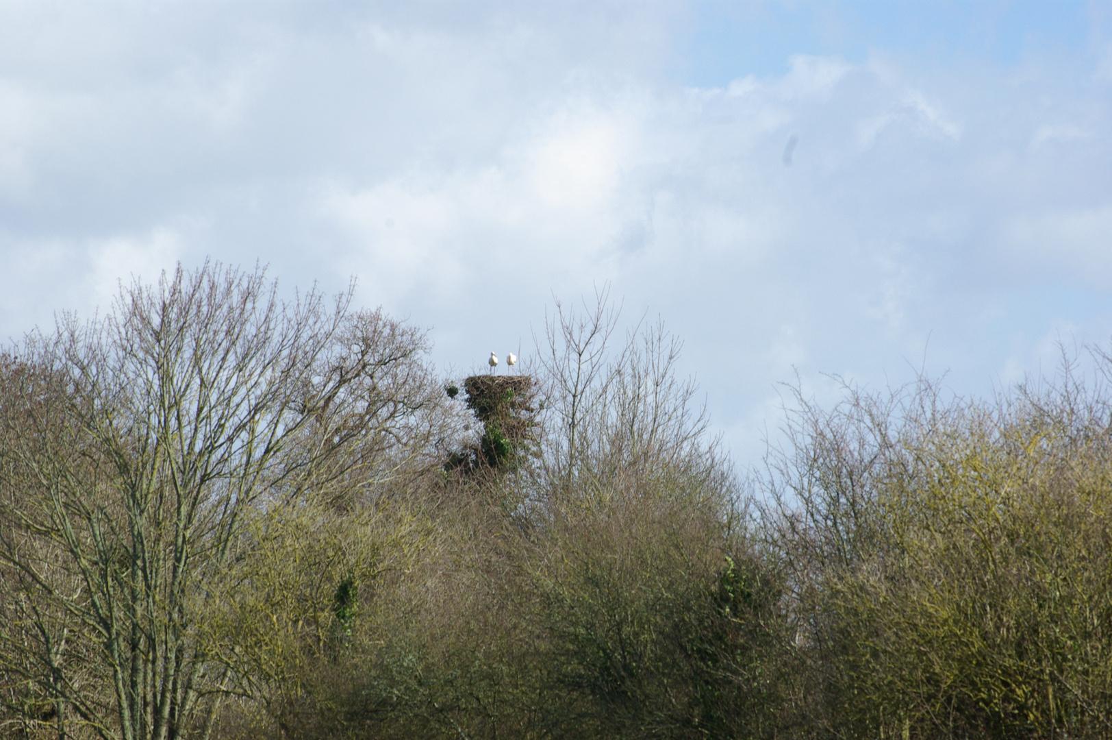 CIGOGNES dans les marais du Cotentin