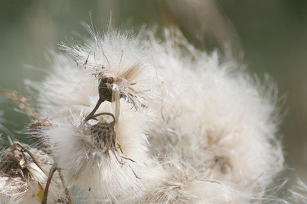 Cirsium arvense ou chardon des champs en fin de floraison