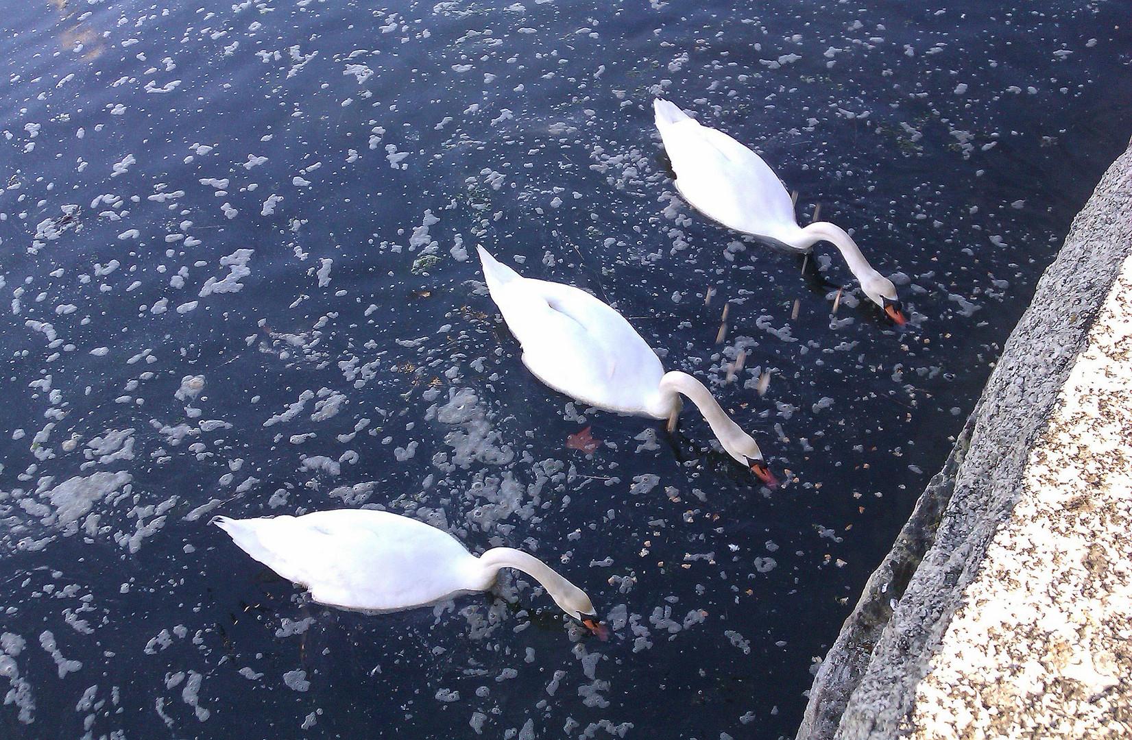 cisnes en fila