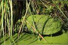Cistude, tortue protégée