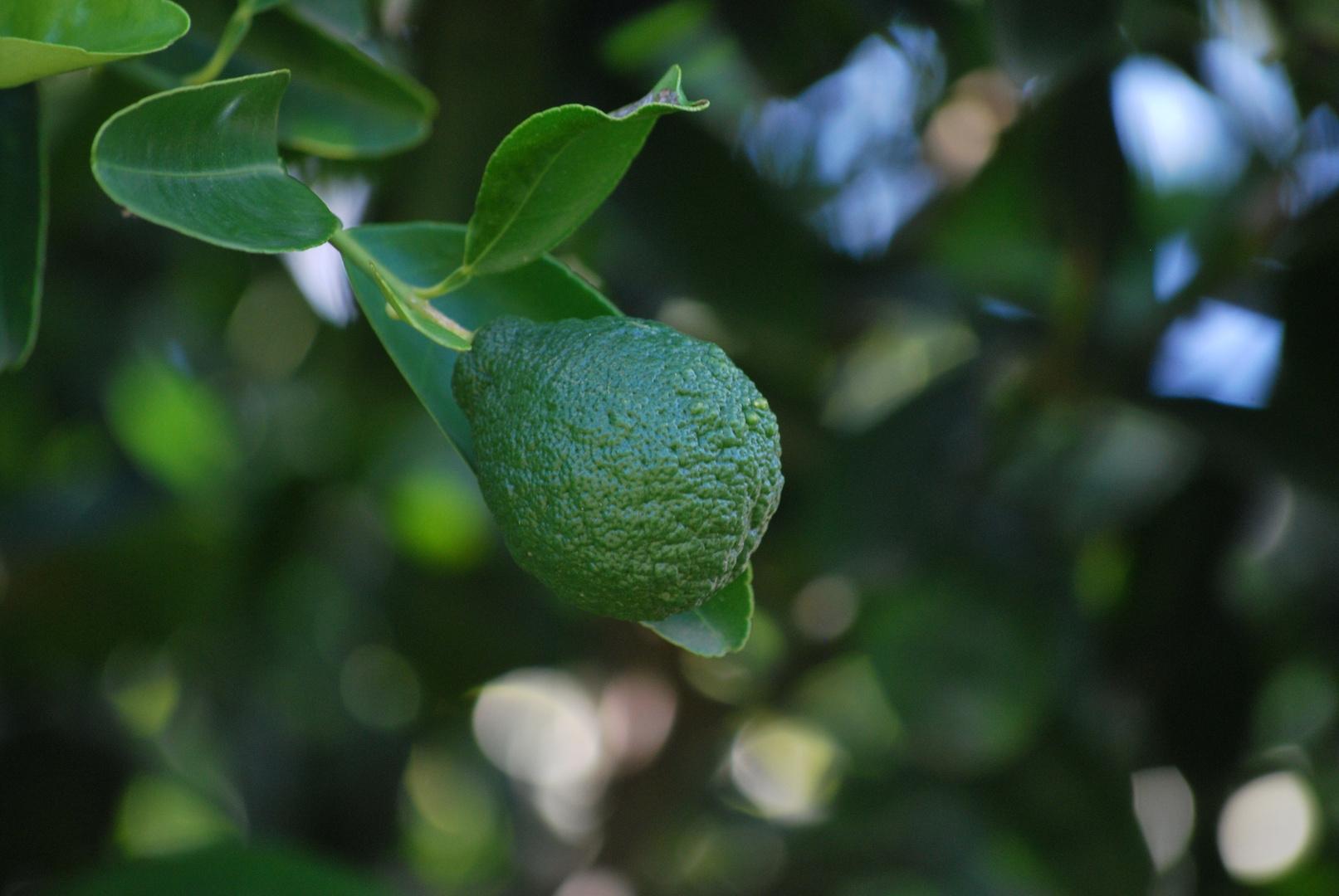 Citron vert (Lime)