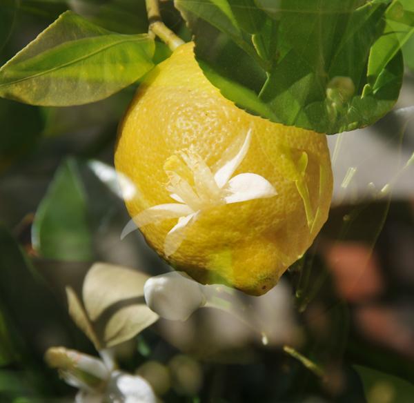 citronus