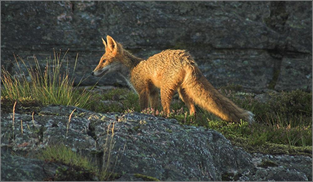 City Fox