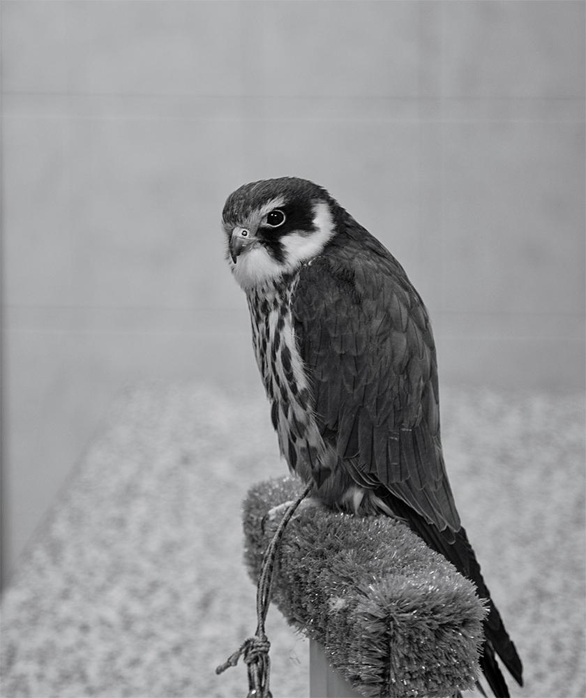 City of falcons