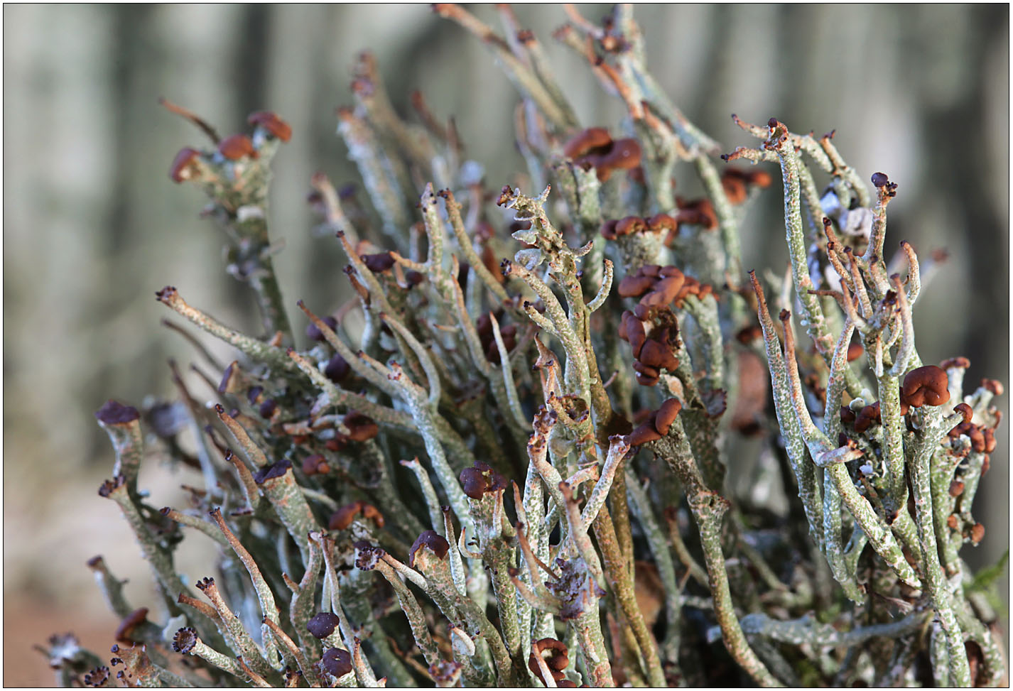 Cladonia gracilis ...