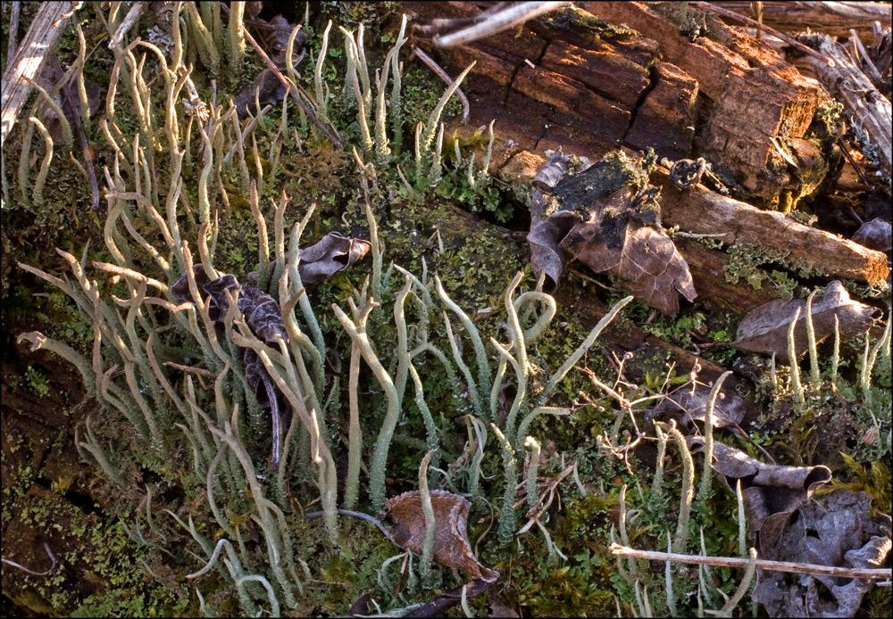 Cladonia subulata?