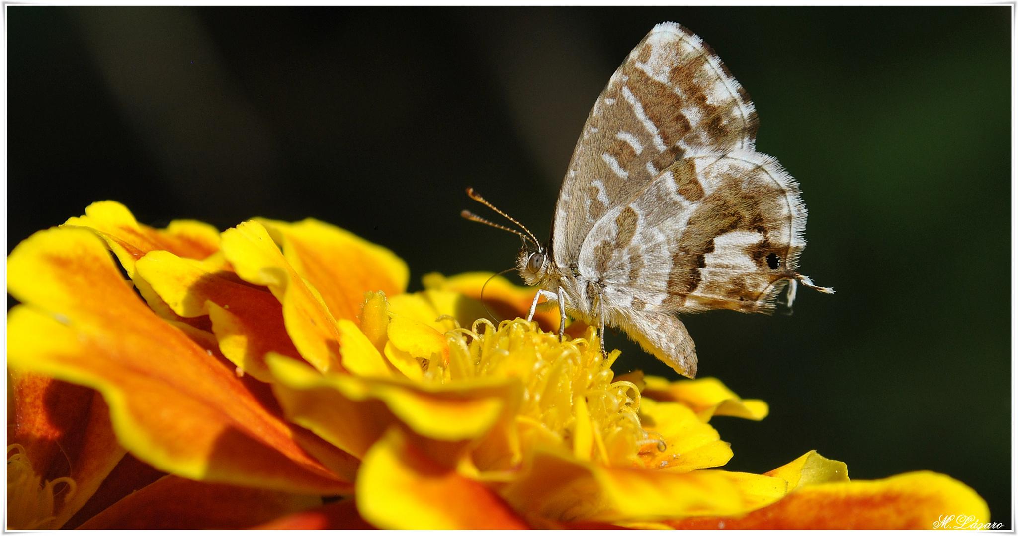 Clavel y mariposa