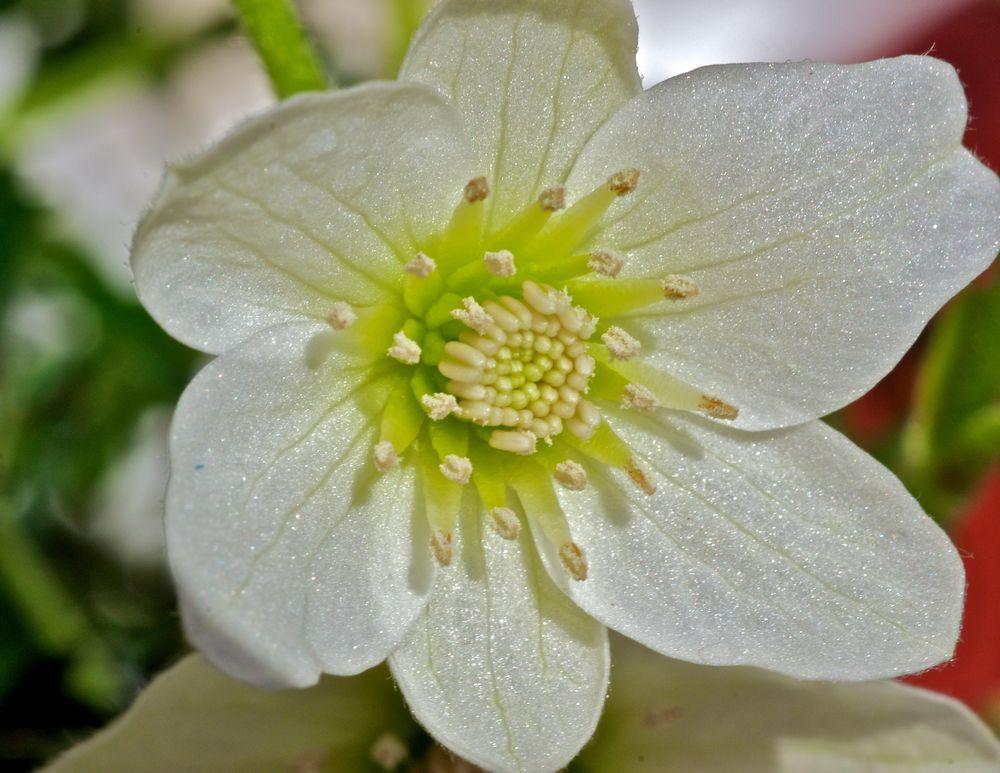 Clematis evergreen bl te foto bild pflanzen pilze for Pflanzen evergreen