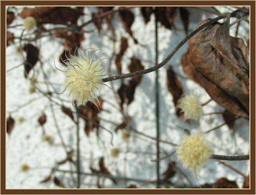 Clematis im Winter