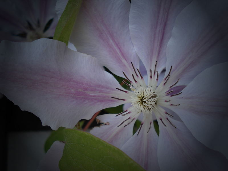 Clematis in Mutters Garten