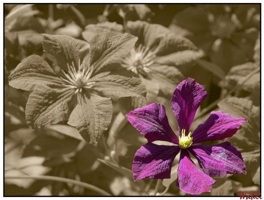 Clematis in Sepia