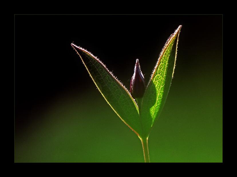 Clematis integrifolia L.