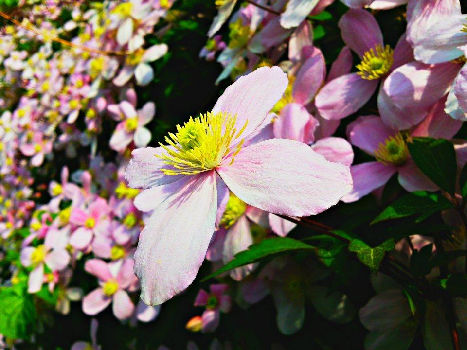 Clematis montana (rosa)