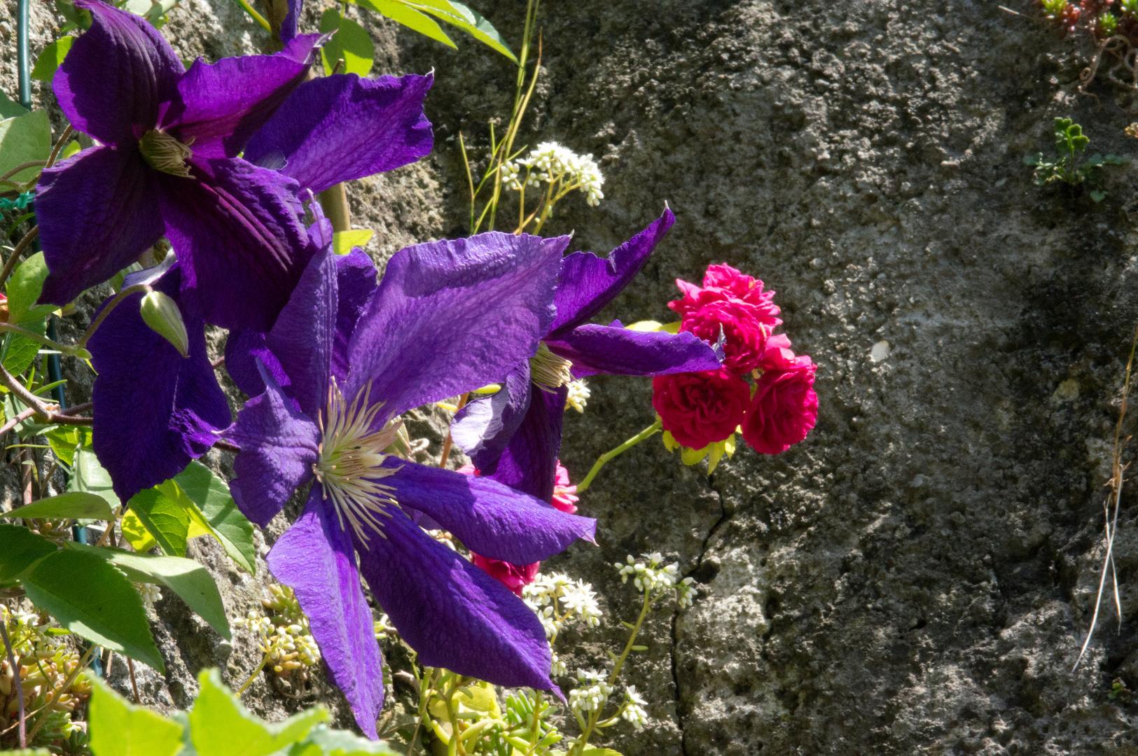 Clematis und Rose auf Mauer