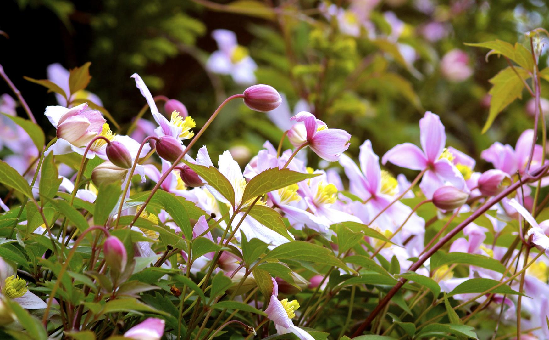 Clematisblüten und Knospen