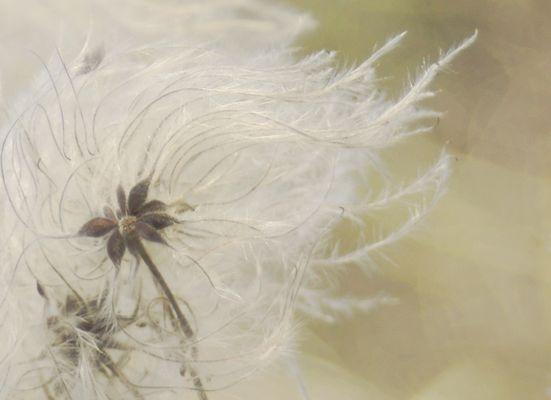 Clematite vigne blanche