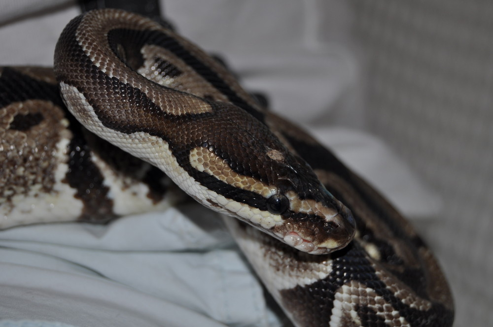 Cleo the Python