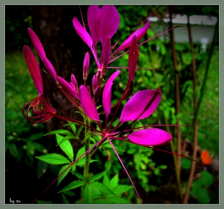 Cleome..Spinnenblume...