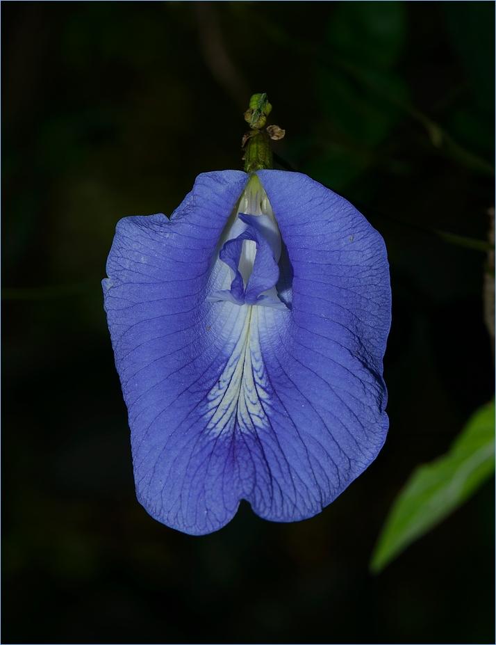 Clitoria
